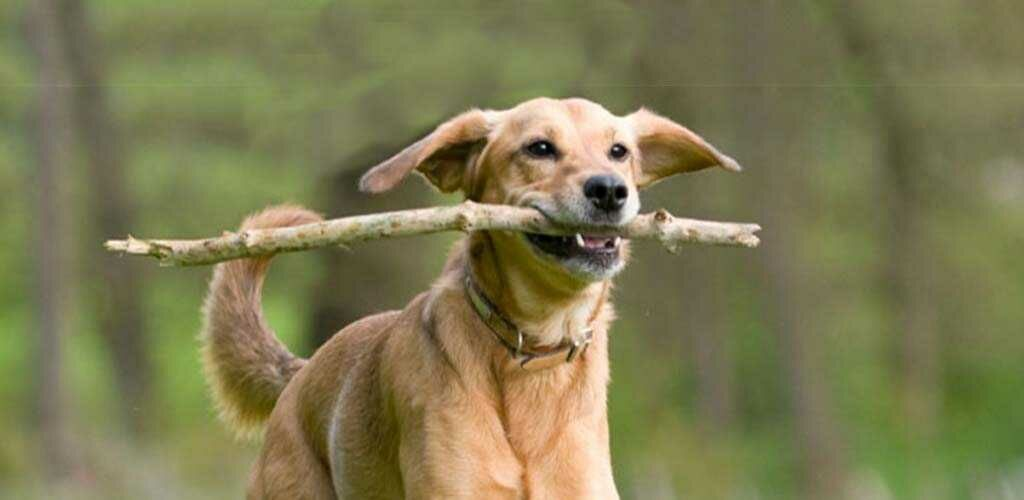 Dog fetching a stick